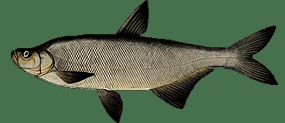 Верхогляд (Chanodichthys erythropterus)