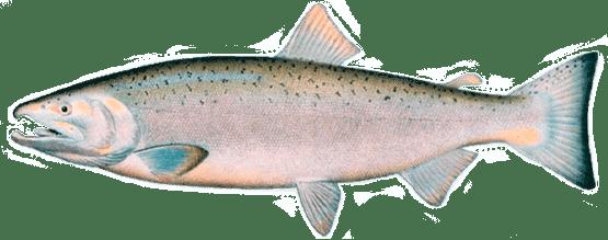 КЕТА (dog salmon)