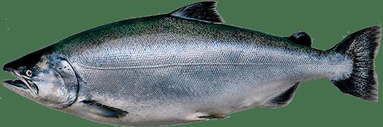 ЧАВЫЧА (king salmon, chinook)