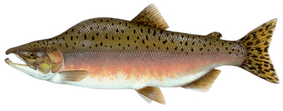 ГОРБУША (pink salmon)
