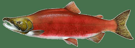 НЕРКА (red salmon, красница)