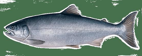 КИЖУЧ (silver salmon)